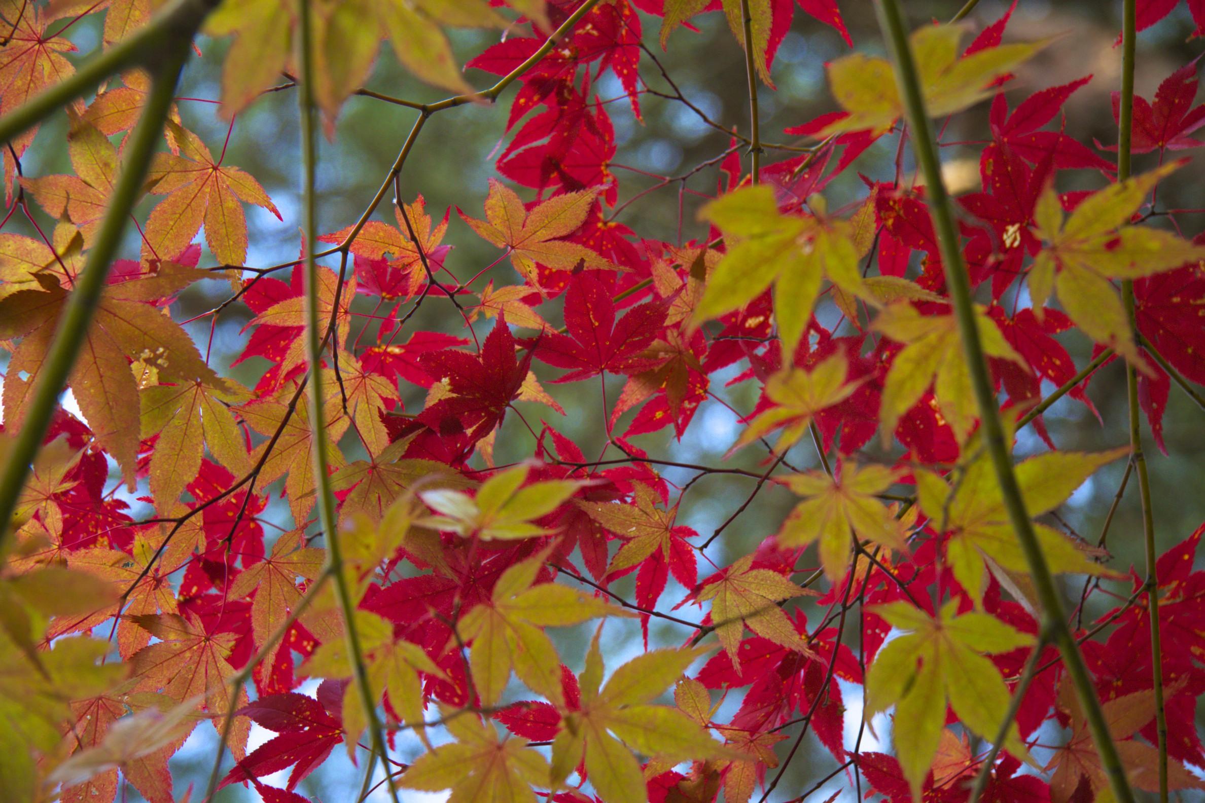 Marple leaves - Autumn in Japan
